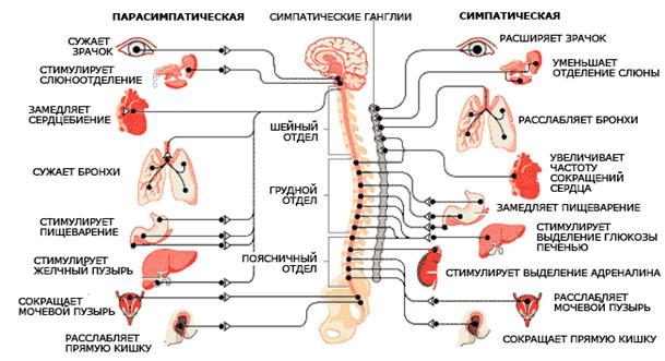 Рис. 2. Вегетативная нервная система, ее отделы (симпатический и парасимпатический ) и внутренние органы, которые она иннервирует